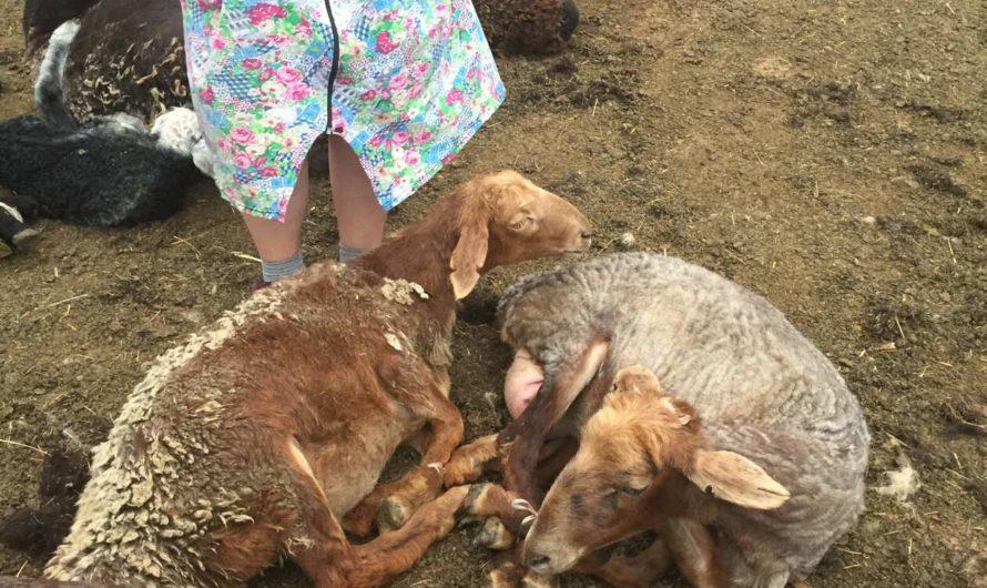 Первомайскими полицейскими по горячим следам задержаны жители Курманаевского района, которые подозреваются в совершении серии краж овец у местных жителей