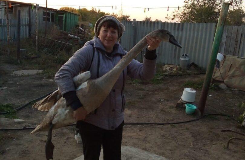 На водоёме посёлка Ленинского более 15 лет живут лебеди