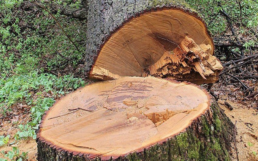 Дознавателем ОМВД России по Первомайскому району направлено в суд уголовное дело по факту незаконной вырубки 13 деревьев породы «Дуб»